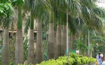 Royal Palm (Cuba)